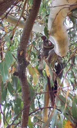 Brushtail possum, in a Eucalyptus dalrympleana, Bronte Park, Tasmania