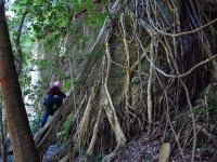A treeclimber approaches the networked lattice roots of a tropical fig tree