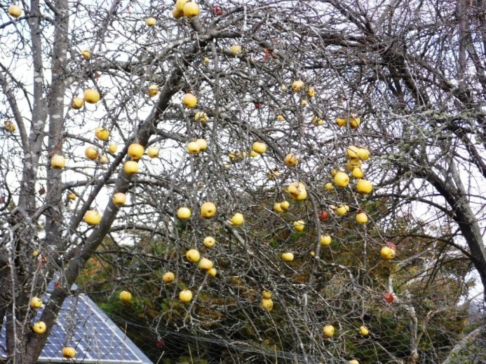 Heritage apples on the side of the road- Huon Valley Apples - Images Via Beth Hall