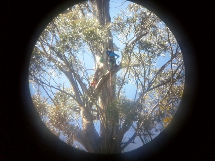 Click over to the article - Climbing The World's Tallest Flowering Tree