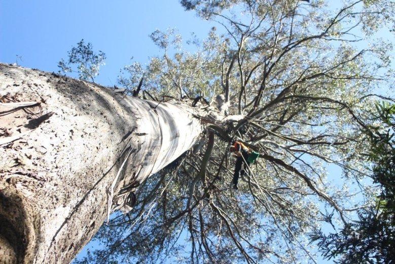 ClimbingTheTallestFloweringTree_byYD BarNess_TasmanianGeographic___3438
