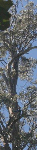 ClimbingTheTallestFloweringTree_byYD BarNess_TasmanianGeographic___3553