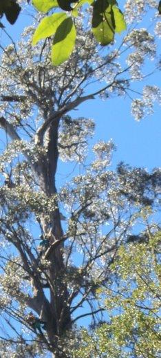 ClimbingTheTallestFloweringTree_byYD BarNess_TasmanianGeographic___3601