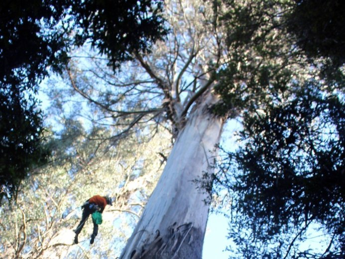 ClimbingTheTallestFloweringTree_byYD BarNess_TasmanianGeographic___3694