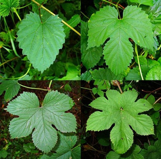 605px-Humulus_lupulus_012- via Wikimedia Commons