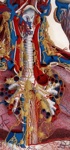 L0019305 Anatomical Illustration