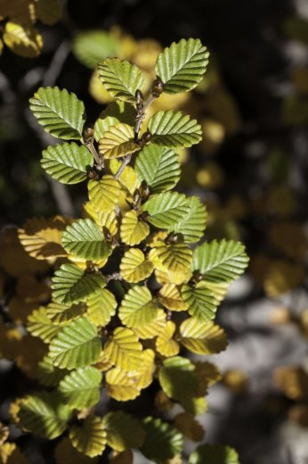 Fagus at  Cradle Mtn - by N Fitzgerald