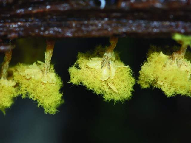 Slime Mold Images - Trichia Verrucosa- by Sarah Lloyd