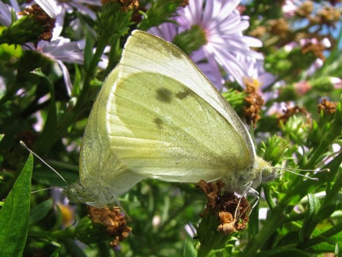 cabbage-white-butterfly-pieris-rapae-an-introduced-species-that-relies-on-many-of-our-imported-garden-plants-and-vegetables-for-survival-by-kristi-ellingsen-_1200px