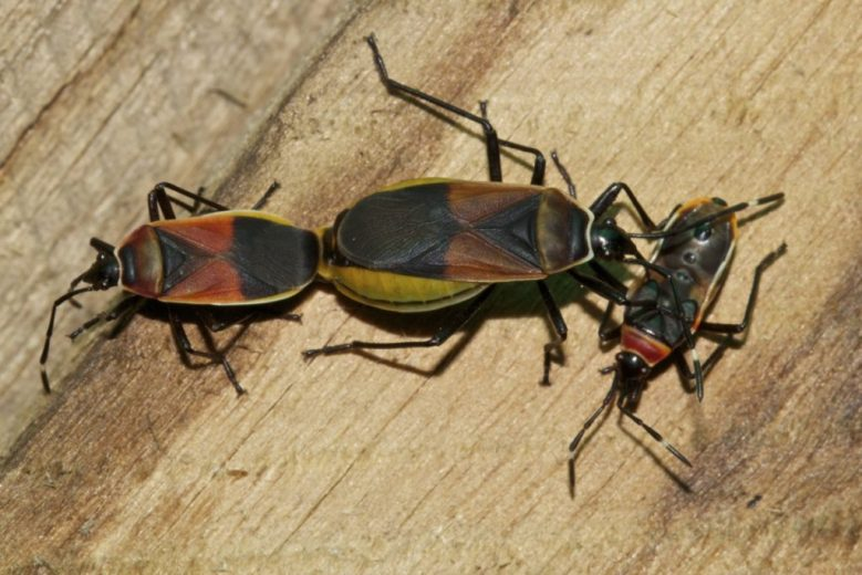 harlequin-bugs-dindymus-versicolor-live-in-dead-wood-and-can-appear-in-large-numbers-by-kristi-ellingsen_1200px
