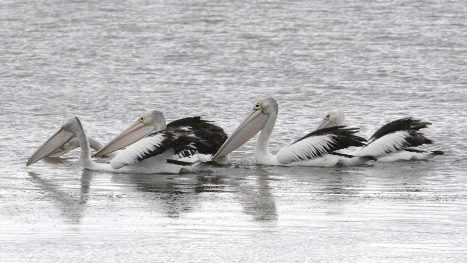 Australian Pelican - courtesy Eric Woehlor - 4_2400px