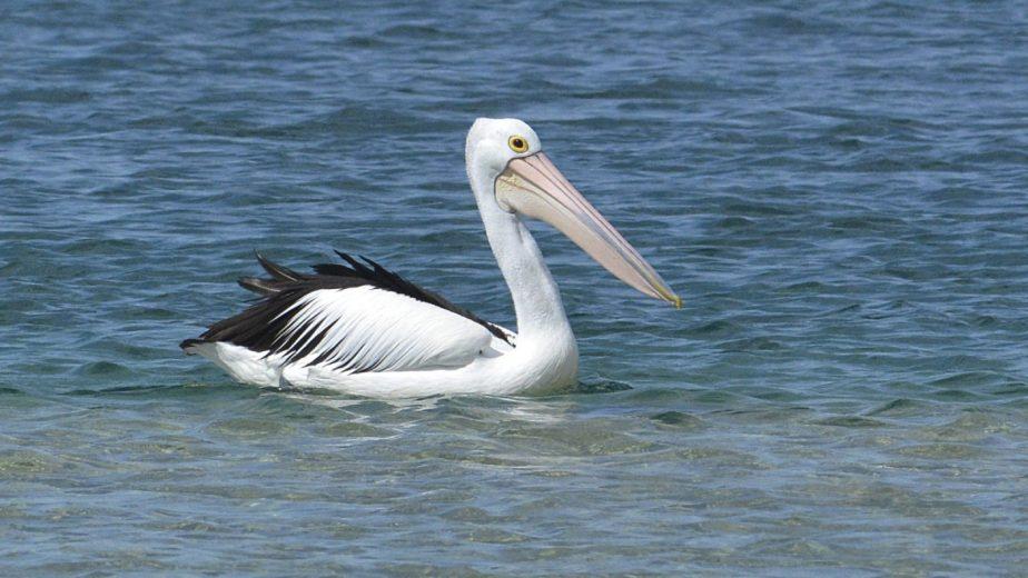 Australian Pelican - courtesy Eric Woehlor - 7_2400px