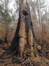 Scouting the Burnt Forest - by YD BarNess-GiantTreeExpeditions- 17