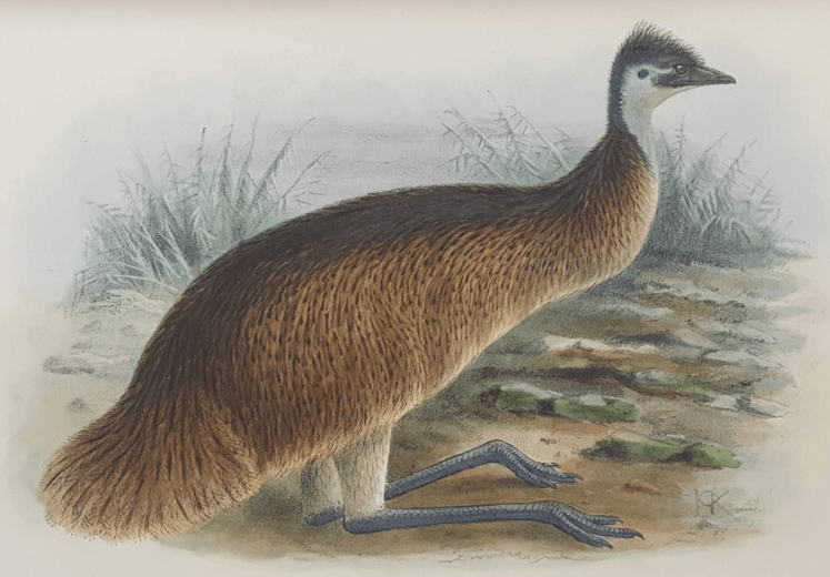 Artwork depicting the Tasmanian Emu – by J. G. Keulemans from The Birds of Australia by G. Mathews (1910)