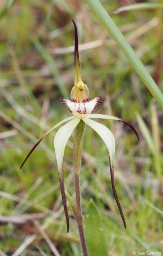 Caladenia caudata - Eastern Shore 1