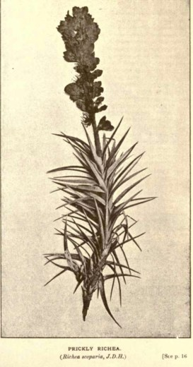 Illustrations from Rodway -Some Wildflowers of Tasmania - by Olive Barnard 43.08