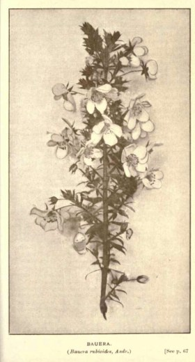 Illustrations from Rodway -Some Wildflowers of Tasmania - by Olive Barnard 45.05