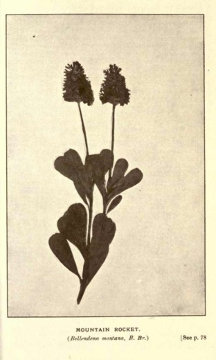 Illustrations from Rodway -Some Wildflowers of Tasmania - by Olive Barnard 45.28