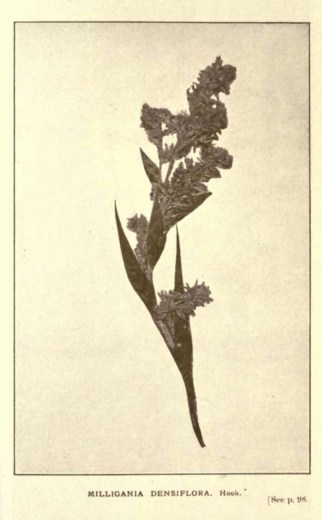 Illustrations from Rodway -Some Wildflowers of Tasmania - by Olive Barnard 46.08