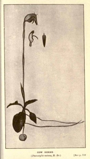 Illustrations from Rodway -Some Wildflowers of Tasmania - by Olive Barnard 46.33