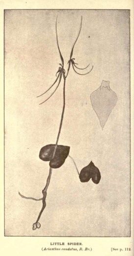 Illustrations from Rodway -Some Wildflowers of Tasmania - by Olive Barnard 46.37