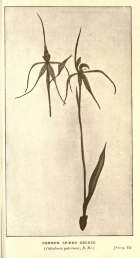 Illustrations from Rodway -Some Wildflowers of Tasmania - by Olive Barnard 46.46
