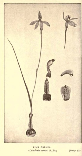 Illustrations from Rodway -Some Wildflowers of Tasmania - by Olive Barnard 46.49