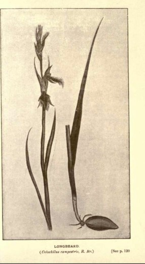 Illustrations from Rodway -Some Wildflowers of Tasmania - by Olive Barnard 47.03