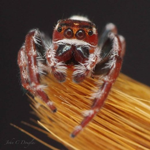 A very colourful jumper hanging out on my paint brush Opisthoncus mandibularis - by John Douglas