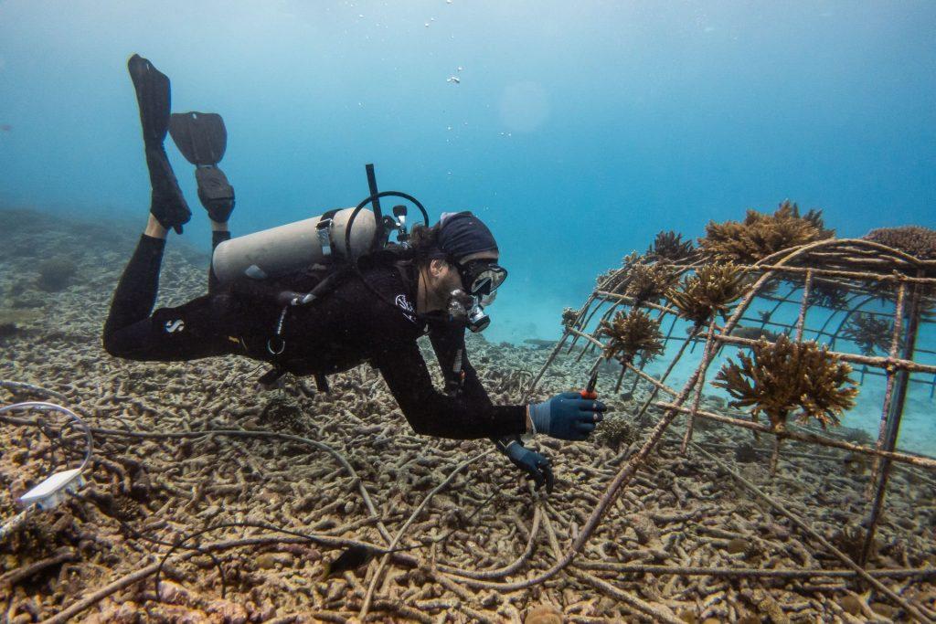 Coral Restoration In Fregate - Copyright Blancpain, Daniel Bichsel
