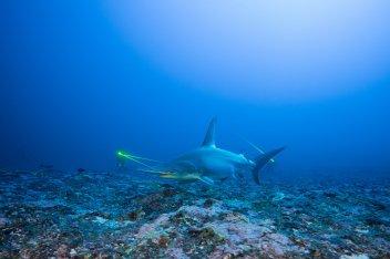 Blancpain Bathyscaphe Mokarran: Great hammerhead shark, Thomas Pavy