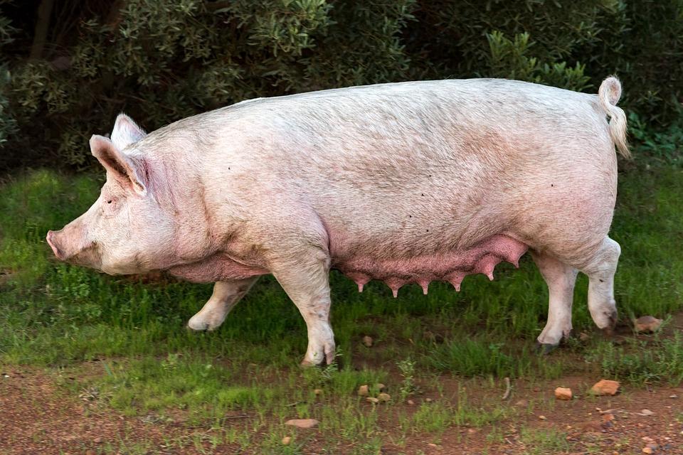 JBS cai 6% com exportações de carne suína da UE para a China em alta
