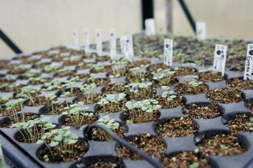 Starting seeds: Basil