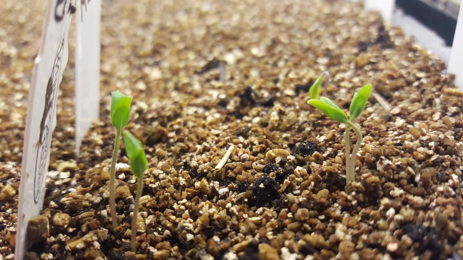 seed starting: sprouting tiny seedlings