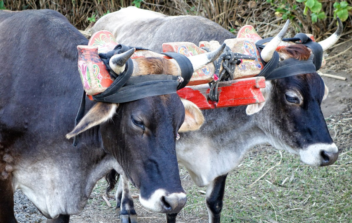oxen used to transport tourists around the coffee plantation