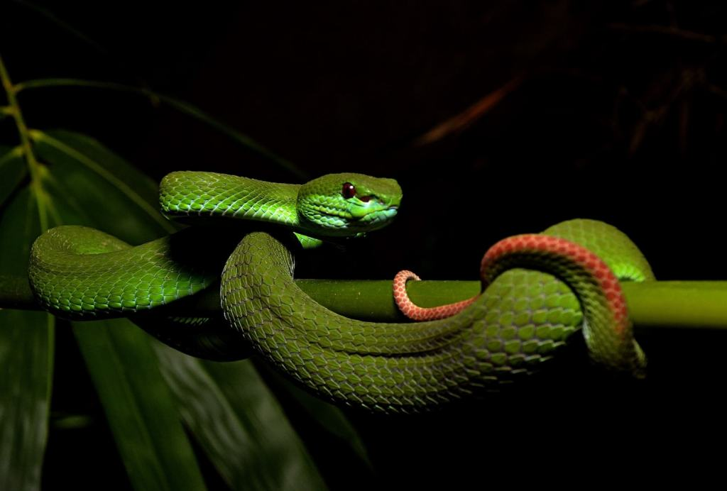 White Lipped Green Pit Viper (Trimeresurus insularis) Indiana Madden-Olle reptiles snakes