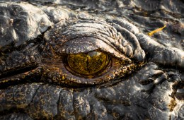 Lewis Burnett, Hunting for Paradise, Kakadu National Park, Photo Essay, crocodile