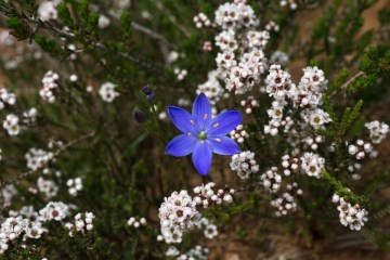 Desert Blooms // Little Desert National Park (VIC), Isobel Campbell, Blue Star (Chamaescilla corymbosa) in front with Heath-myrtle (Micromyrtus ciliata) at back, white, purple, indigo, flora, plants