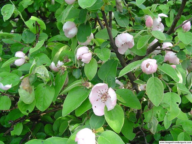 copacul gutui