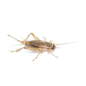 Crickets for Reptiles - Bassett's Cricket Ranch