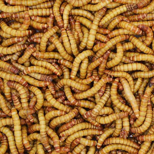 Giant Mealworms from Bassett's Cricket Ranch