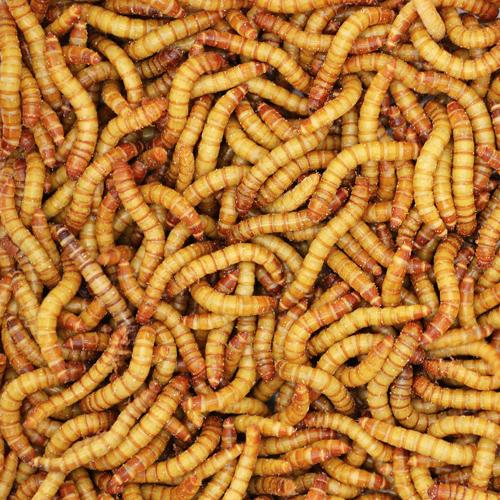 Feeder Mealworms Medium from Bassett's Cricket Ranch