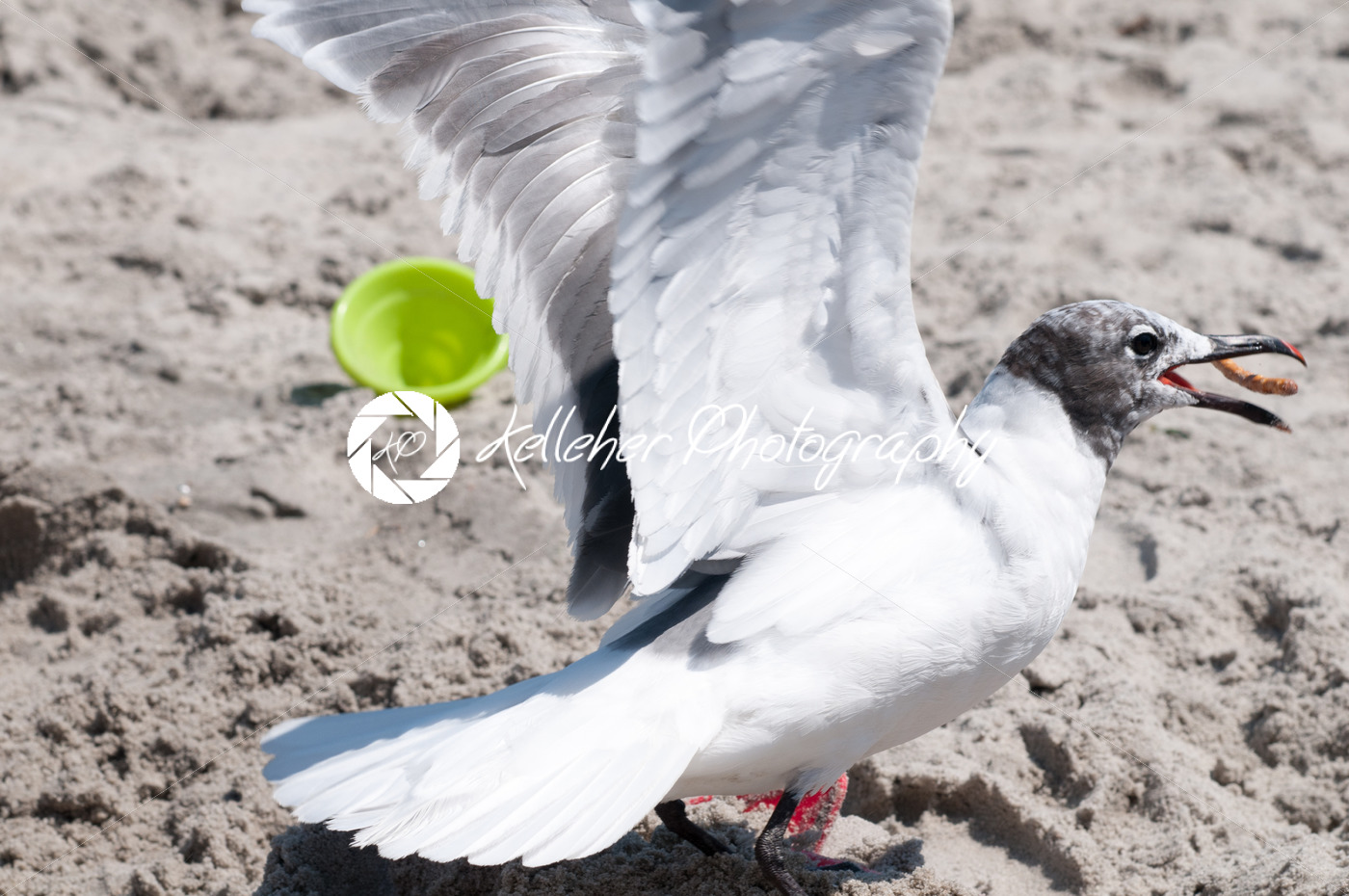 Seagull catching a pretzel in its mouth on the beach in Ocean City, NJ - Kelleher Photography Store