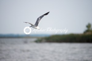 Seagull flying over the Chesapeake Bay around sunset - Kelleher Photography Store