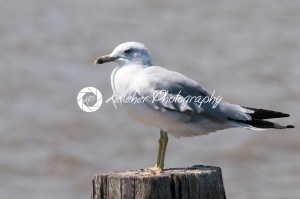 Seagull resting on a pole near Fort Delaware, DE - Kelleher Photography Store