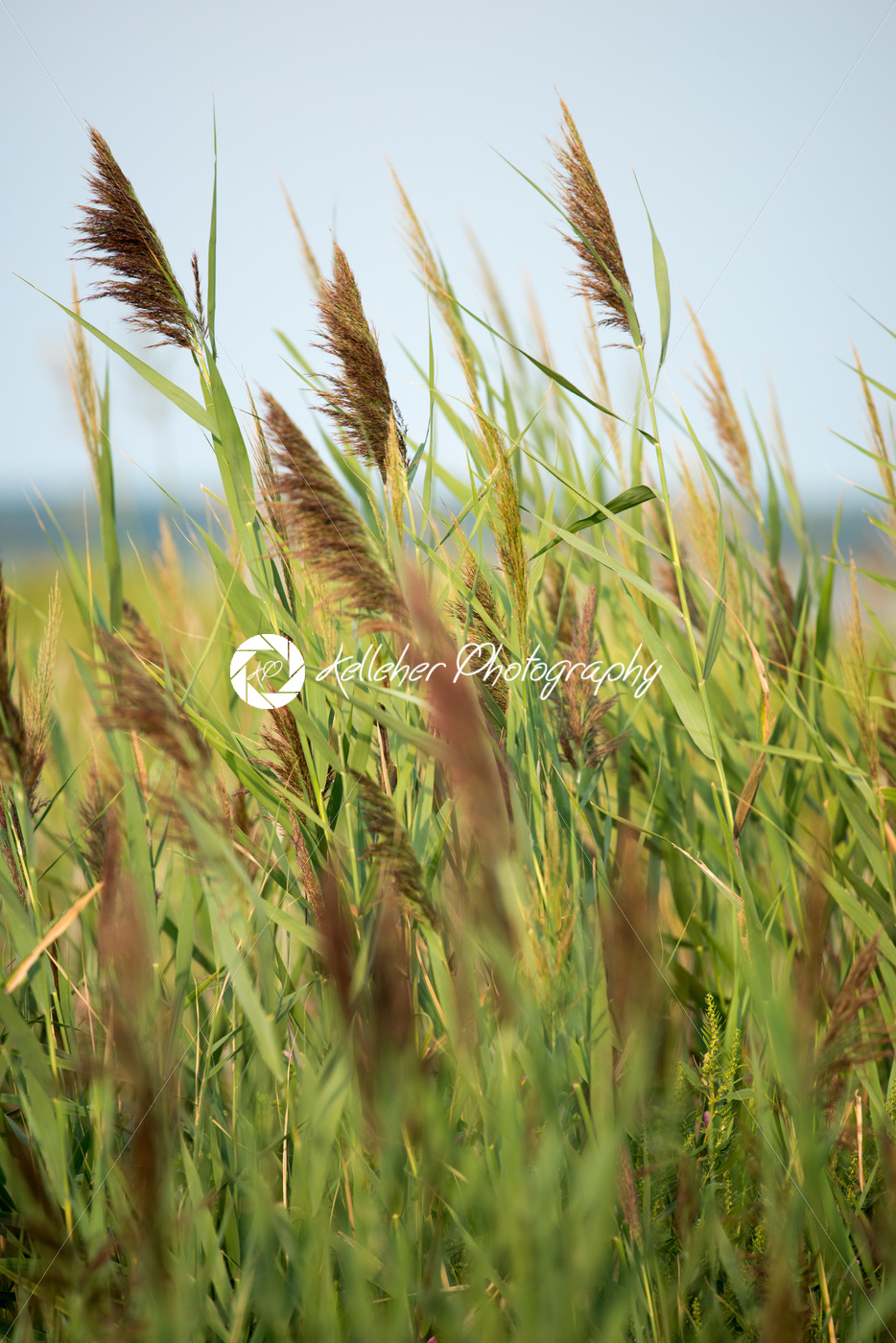 Thickets of reeds on Maryland Eastern Shore near Rock Hall, MD - Kelleher Photography Store