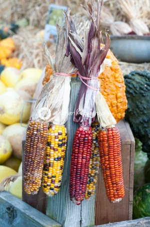 Decorative corn on the autumn market - Kelleher Photography Store