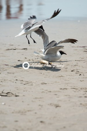 Seagull on the beach flying fighting over food - Kelleher Photography Store