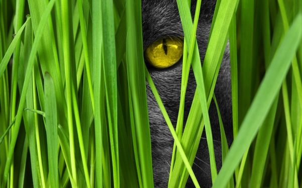 Why Does Your Cat Eat Grass?