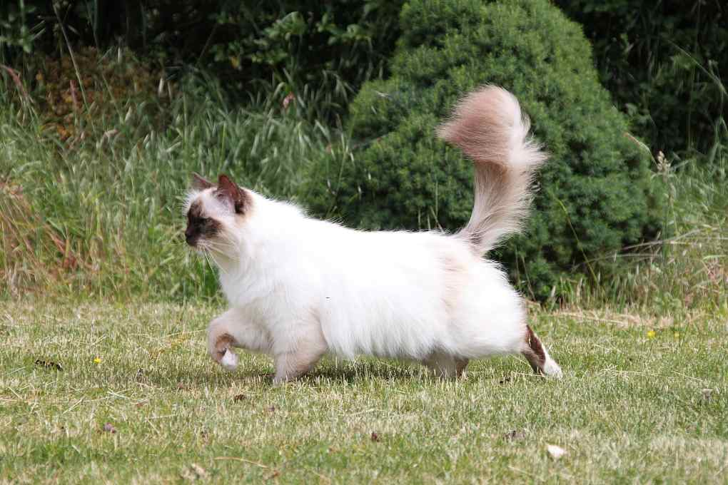 Birman cat at The Great Cat Store-15 most popular cat breeds
